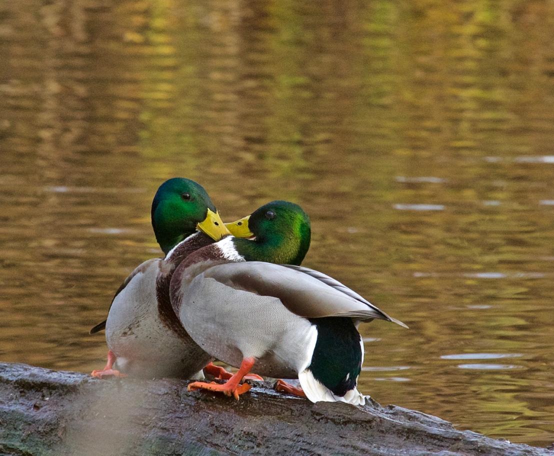 Duck fight!-03