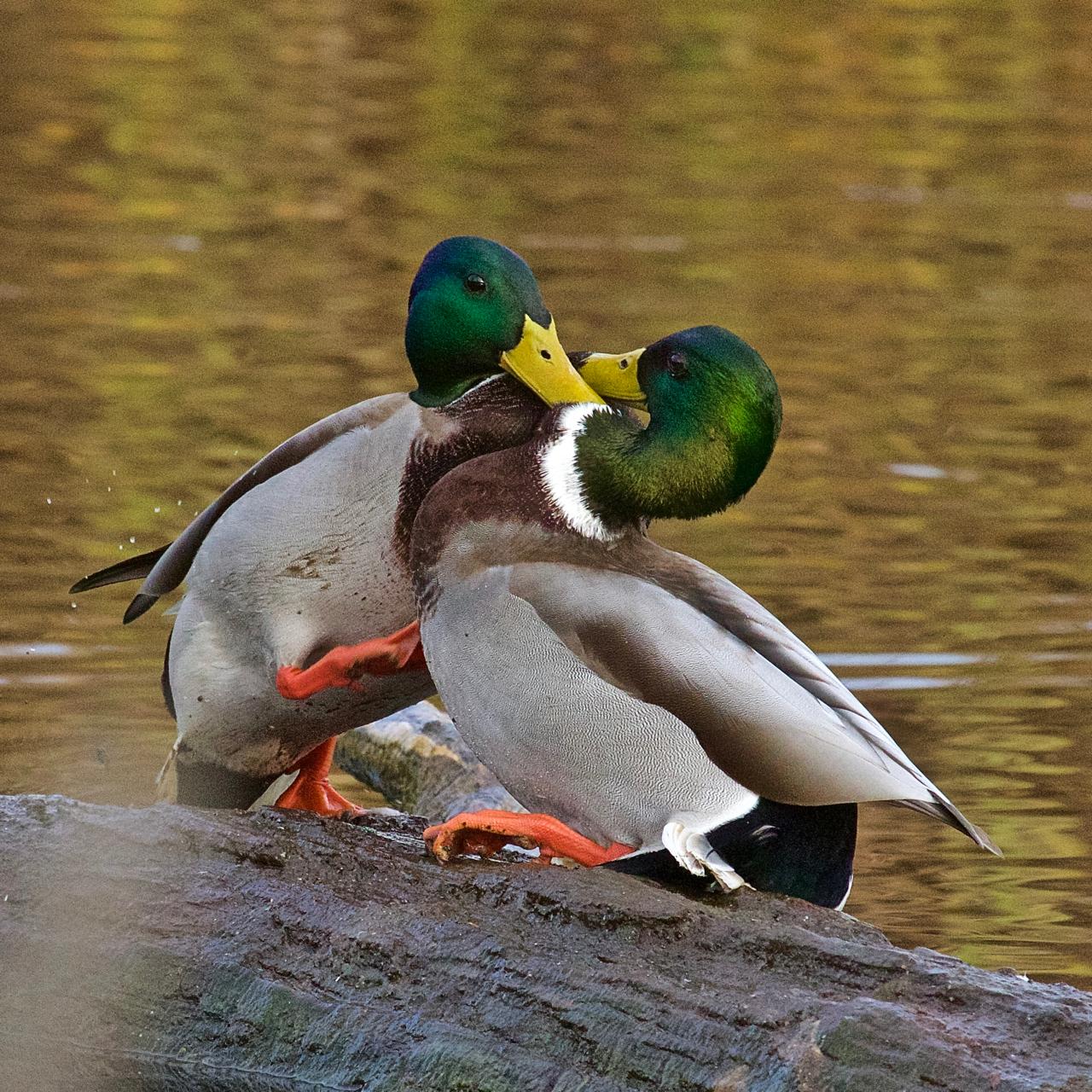 Duck fight!-08