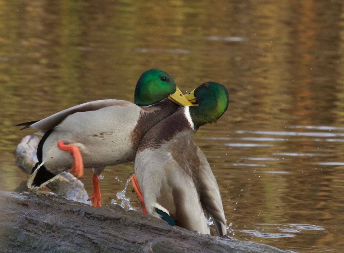 Duck fight!-11