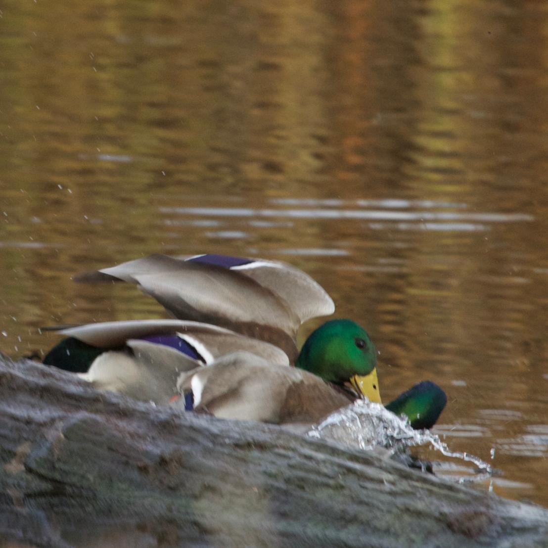 Duck fight!-12