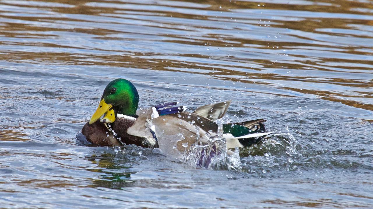 Duck fight!-14