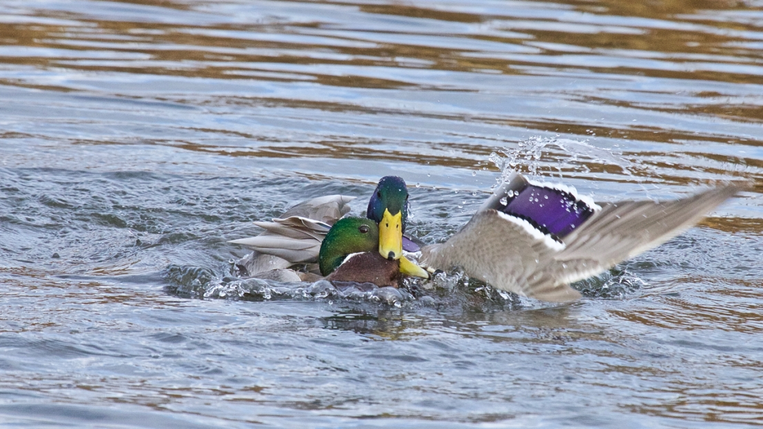 Duck fight!-15