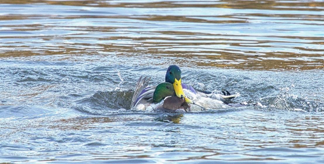 Duck fight!-16