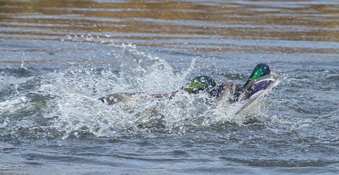 Duck fight!-17