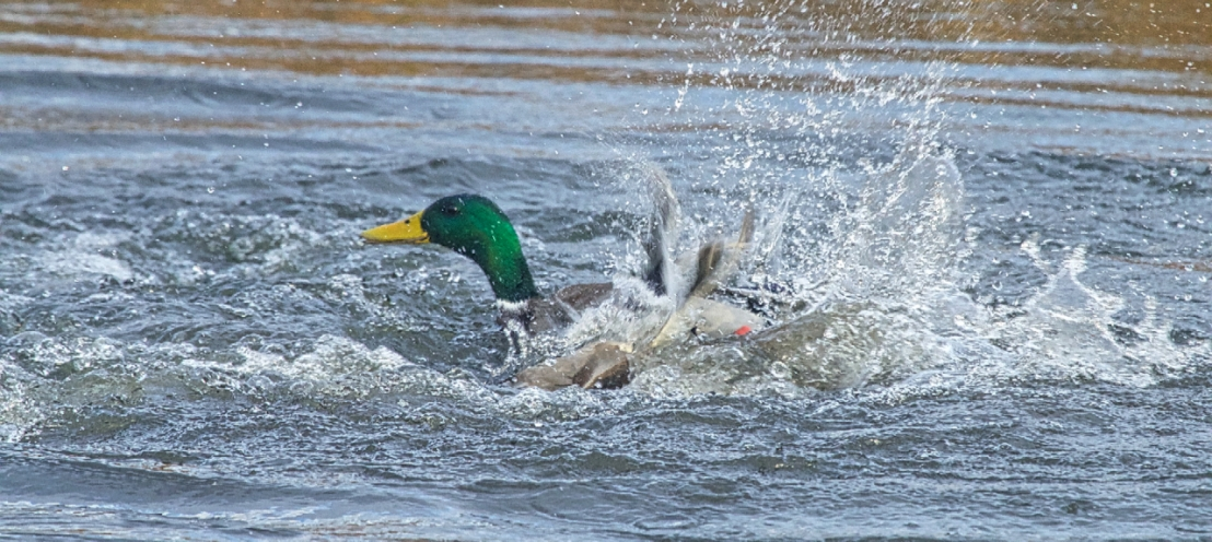 Duck fight!-18