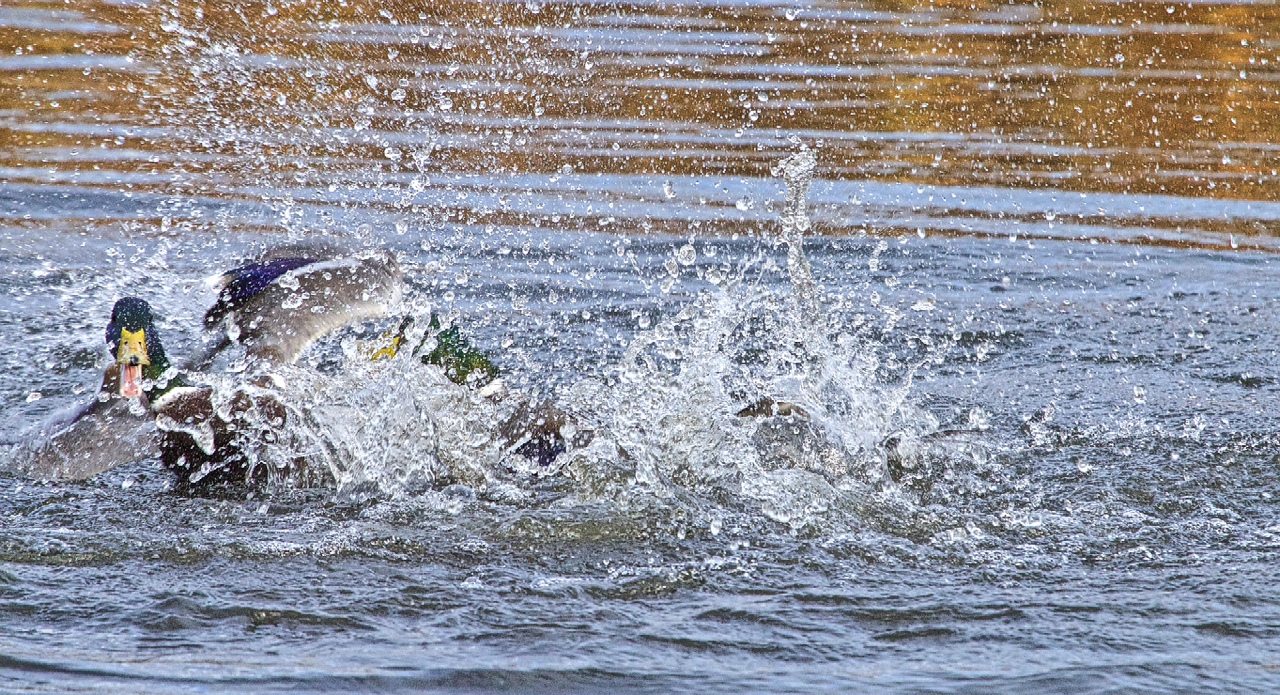 Duck fight!-20