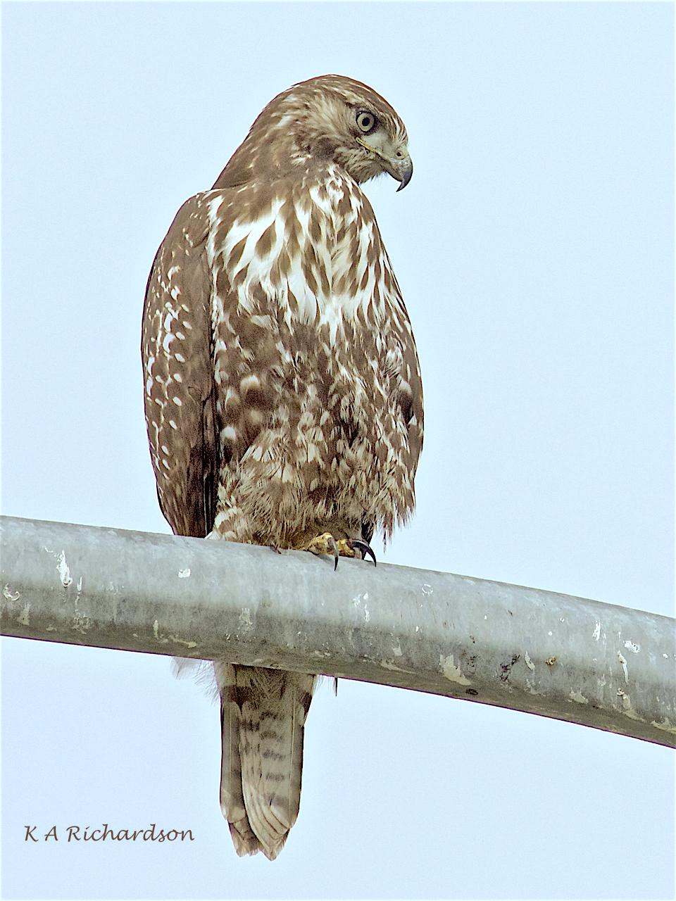 Patience (Red-tailed Hawk [Buteo jamaicensis]) -05.jpg