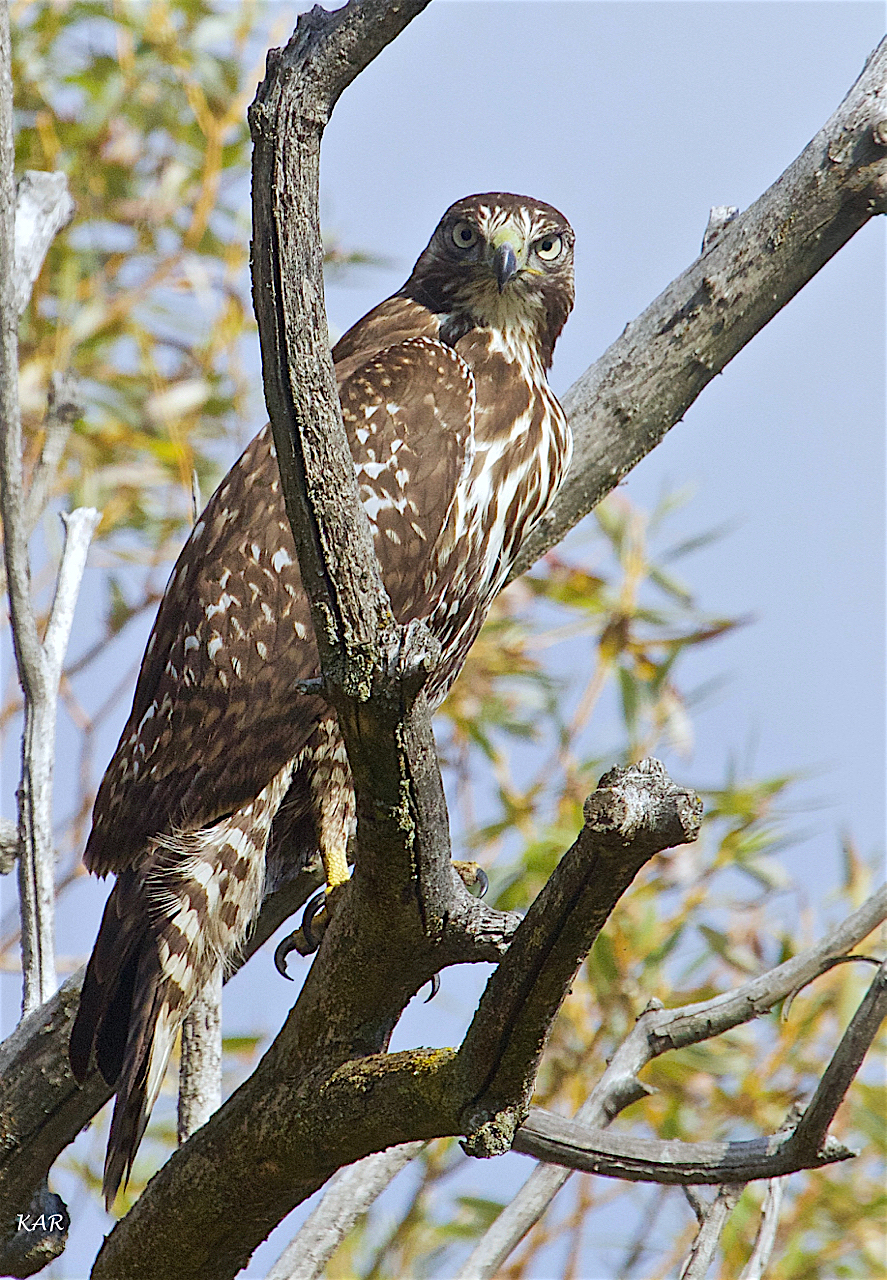 Patience, Red-tailed Hawk (Buteo jamaicensis) -36.jpg
