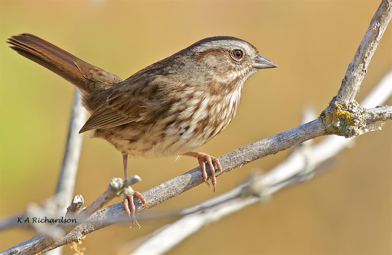 Song Sparrow (Melospiza melodia) -02.jpeg