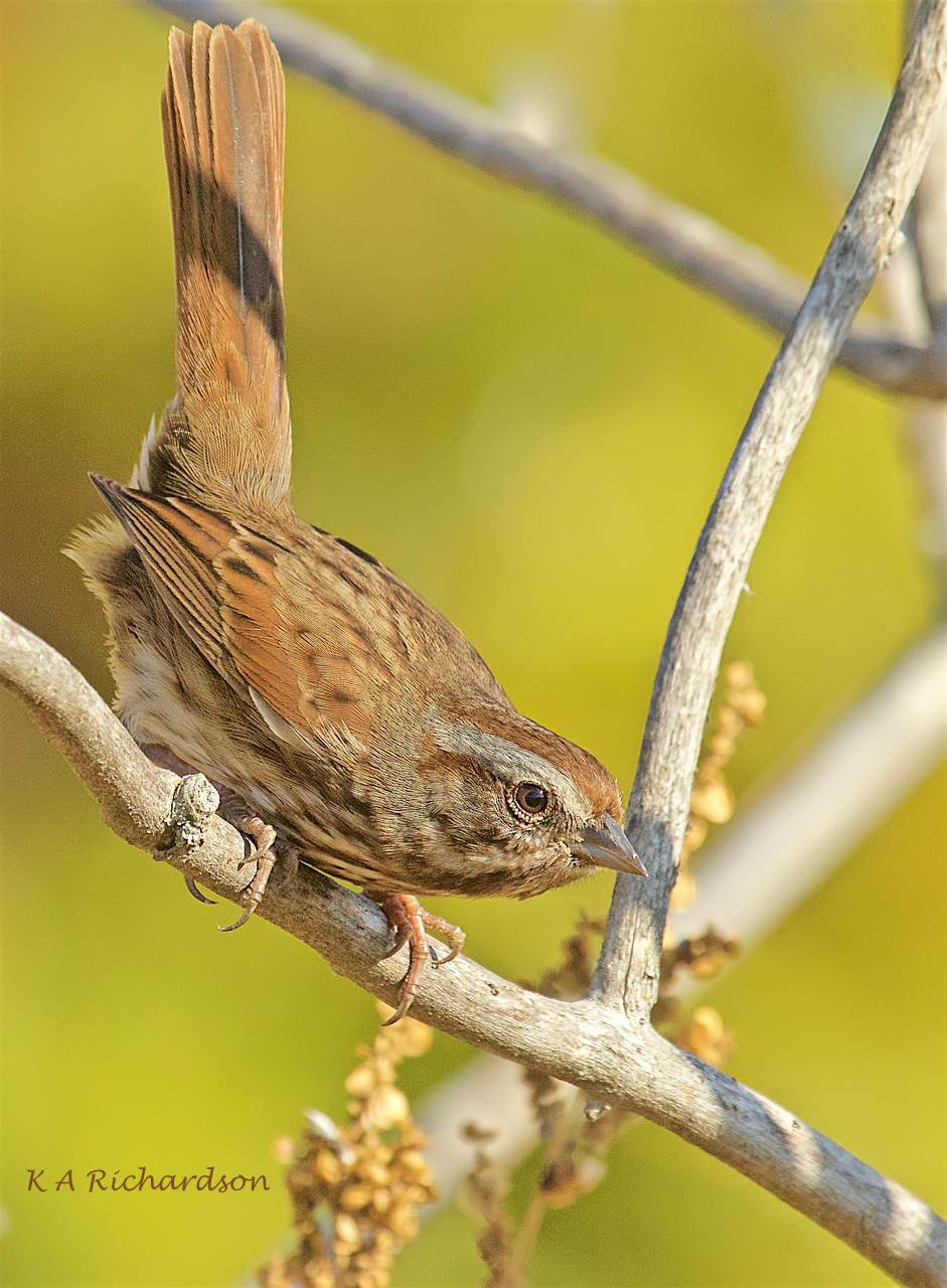 Song Sparrow (Melospiza melodia) -04.jpeg
