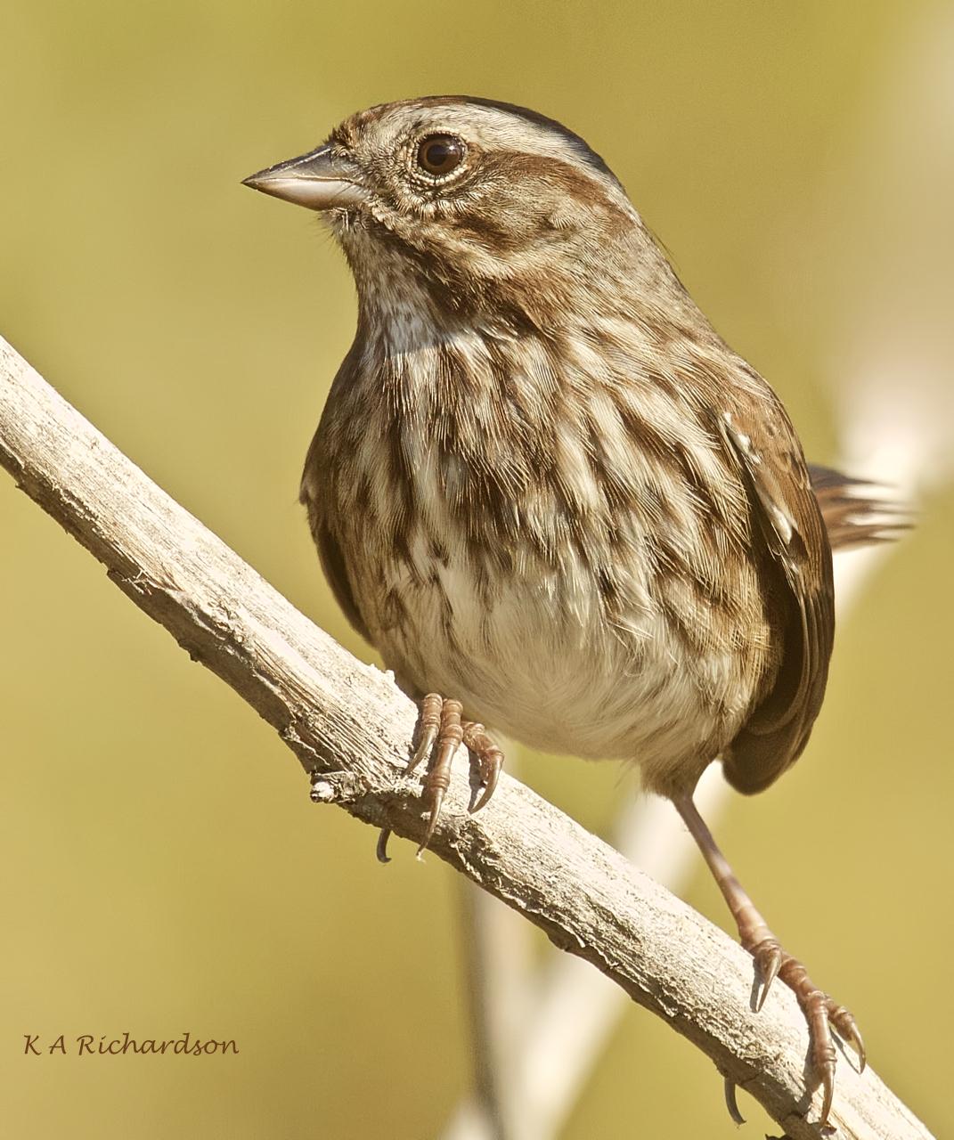 Song Sparrow (Melospiza melodia) -05.jpeg
