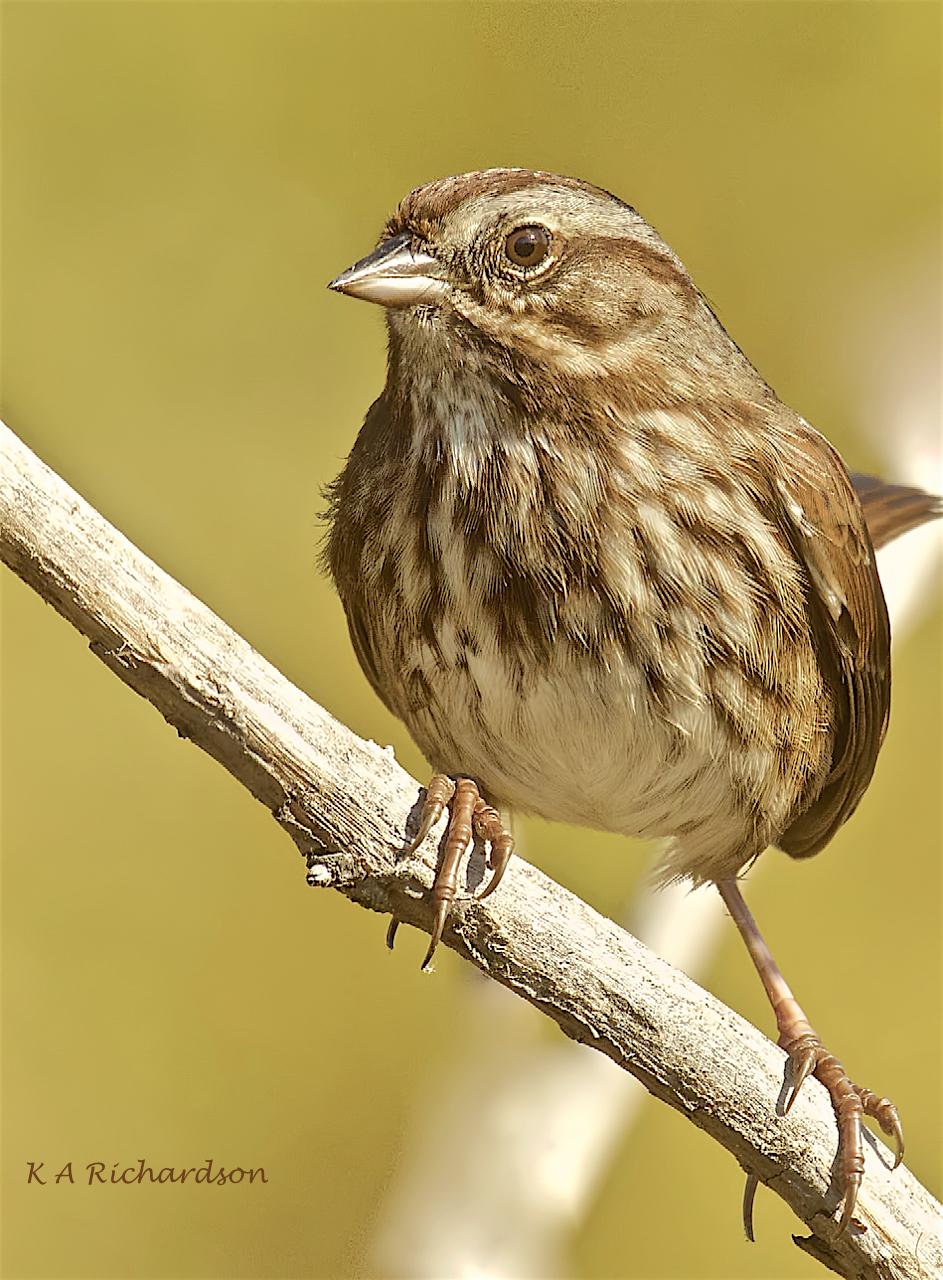 Song Sparrow (Melospiza melodia) -07.jpeg