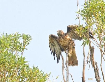 Spike, Red-tailed Hawk (Buteo jamaicensis) -05.jpg